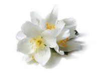 Fiori bianchi del gelsomino sui precedenti bianchi Fotografia Stock