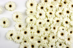 Fiori bianchi del Gerbera Immagine Stock Libera da Diritti