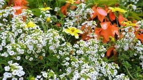 Fiori bianchi del giardino Il movimento della macchina fotografica lungo le creste lunghe permette di vedere i fiori di mgogo del stock footage