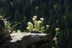 Fiori bianchi del millefoglio su una roccia Fotografia Stock Libera da Diritti