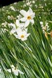 Fiori bianchi del narciso Fotografie Stock Libere da Diritti