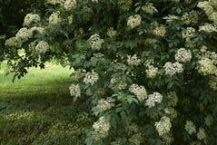 Fiori bianchi del nigra del Sambucus immagine stock libera da diritti