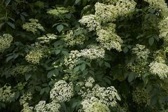 Fiori bianchi del nigra del Sambucus fotografie stock libere da diritti