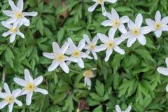 Fiori bianchi del nomerosa dell'anemone fotografia stock