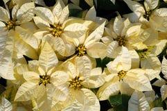 Fiori bianchi del poinsettia Fotografie Stock