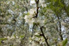 Fiori bianchi del prugnolo Fotografie Stock