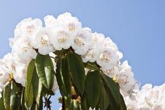 Fiori bianchi del rododendro Fotografia Stock