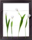 Fiori bianchi del tulipano nel telaio grigio Fotografia Stock Libera da Diritti
