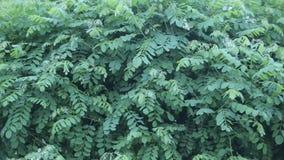 Fiori bianchi dell'acacia fra fogliame verde stock footage