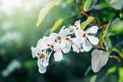 Fiori bianchi dell'albero immagine stock libera da diritti