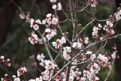 Fiori bianchi dell'albero in Colorado Immagini Stock