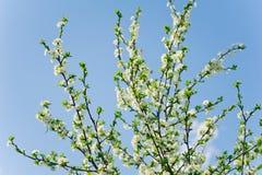 Fiori bianchi dell'albero del fiore di freschezza sugli ambiti di provenienza di un cielo Fotografia Stock Libera da Diritti