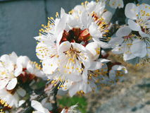 fiori bianchi dell'albicocca, primavera 2016 Fotografia Stock