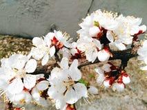 fiori bianchi dell'albicocca, primavera 2016 Immagine Stock