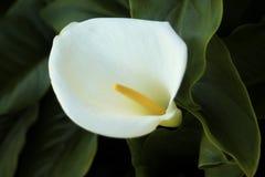 Fiori bianchi dell'anturio Immagine Stock