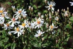 Fiori bianchi dell'aster della foresta di divaricatus dell'aster Fotografia Stock Libera da Diritti