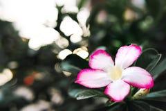 Fiori bianchi dell'azalea falsa con i fiori rossi pieni Fotografia Stock