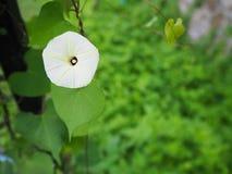 Fiori bianchi dell'erba fotografia stock