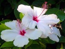 Fiori bianchi dell'ibisco Fotografie Stock