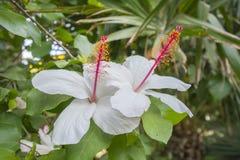 Fiori bianchi dell'ibisco in un bello giardino Immagine Stock Libera da Diritti