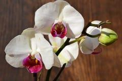 Fiori bianchi dell'orchidea Fotografia Stock
