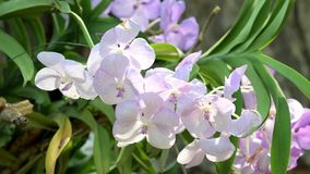 Fiori bianchi dell'orchidea che fioriscono nel giardino archivi video