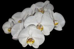 Fiori bianchi dell'orchidea su backround nero fotografie stock libere da diritti