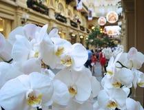 Fiori bianchi dell'orchidea sui precedenti di grande centro commerciale fotografia stock