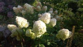 Fiori bianchi dell'ortensia di paniculata Panicled dell'ortensia immagini stock libere da diritti