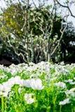 Fiori bianchi dell'universo nel garden6 Fotografia Stock