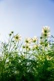 Fiori bianchi dell'universo nel garden3 Fotografie Stock Libere da Diritti