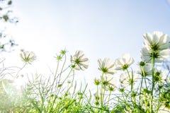Fiori bianchi dell'universo nel garden2 Fotografie Stock