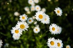 fiori bianchi della camomilla Immagini Stock