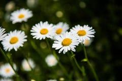 fiori bianchi della camomilla Immagine Stock Libera da Diritti
