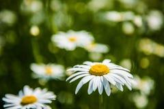 fiori bianchi della camomilla Fotografie Stock Libere da Diritti