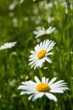 fiori bianchi della camomilla Fotografia Stock Libera da Diritti