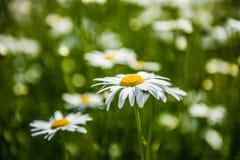 fiori bianchi della camomilla Immagine Stock