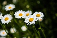 fiori bianchi della camomilla Immagini Stock Libere da Diritti