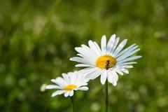 fiori bianchi della camomilla Fotografie Stock