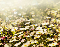 Fiori bianchi della camomilla, fondo della molla Fotografie Stock