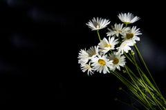 Fiori bianchi della camomilla su fondo nero Immagine Stock