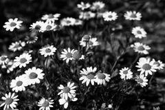 Fiori bianchi della camomilla sui precedenti neri fotografia stock libera da diritti