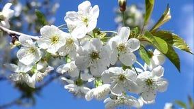 Fiori bianchi della ciliegia stock footage