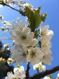 Fiori bianchi della ciliegia Fotografia Stock Libera da Diritti