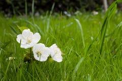 Fiori bianchi della ciliegia su erba verde immagine stock libera da diritti