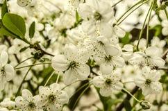Fiori bianchi della ciliegia sui peduncoli lunghi Immagini Stock
