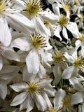 Fiori bianchi della clematide, valanga di varietà Fotografia Stock Libera da Diritti