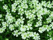 Fiori bianchi della foresta che fioriscono in primavera Fondo stagionale con i fiori bianchi, immagine floreale della molla astra Fotografie Stock