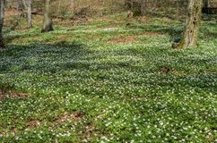 Fiori bianchi della foresta delle primaverine su una radura della foresta un giorno soleggiato della molla Fotografie Stock