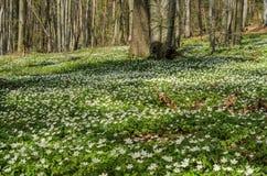 Fiori bianchi della foresta delle primaverine su una radura della foresta un giorno soleggiato della molla Fotografia Stock Libera da Diritti